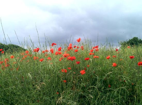Picture of poppies in a field along Walk 44: Bramfield Loop