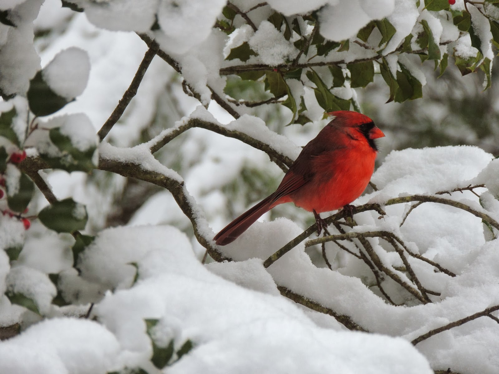 Foulkeways and beyond ii more snow - Pictures of cardinals in snow ...