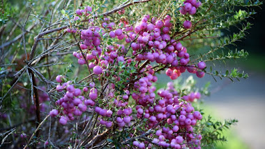 Callicarpa, arbustos con bellos (y coloridos) frutos ornamentales