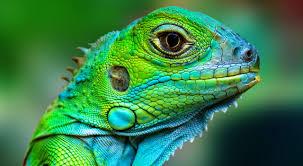 About Lizard