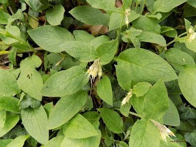 Απρίλιος: Βότανα και φαρμακευτικά φυτά της Ελλάδας-Σύμφυτο: Symphytum bulbosum