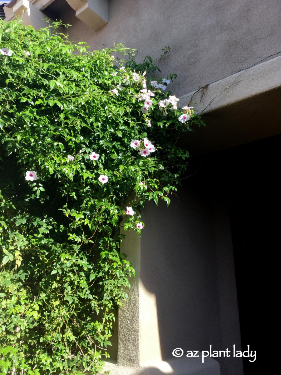 Pandorea Jasminoides Archives Ramblings From A Desert Garden