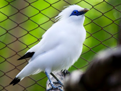Kisaran Harga Terbaru Burung Jalak Bali Saat Ini 2017 Bersertifikat Resmi