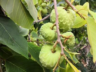 Frutti Appesi