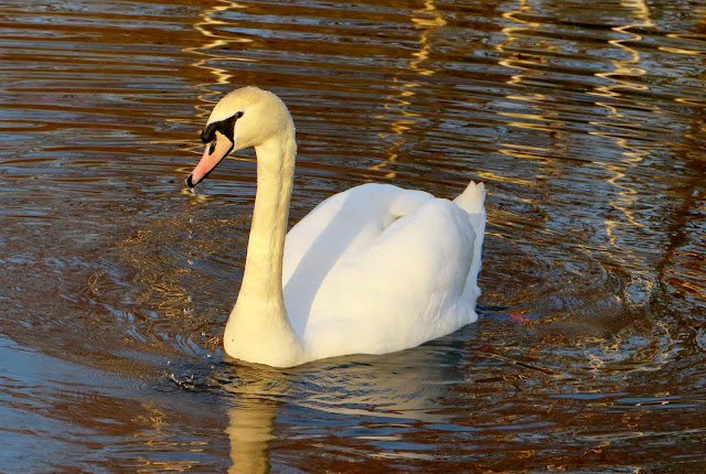 The beauty of the swan