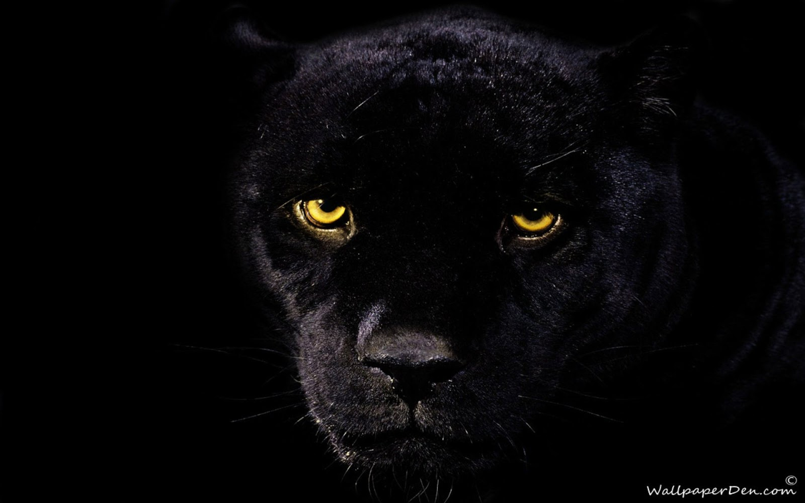 Love quotes black panther wallpaper - Animal black background wallpaper ...