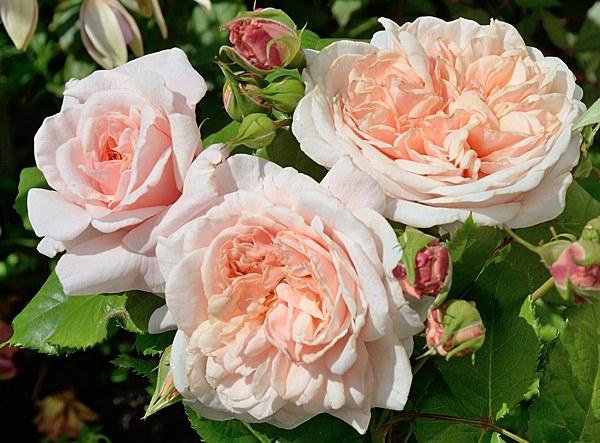 Rose de Tolbiac роза фото сорта