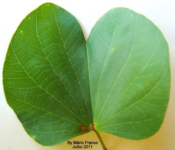 Leaf  Bauhinia variegata