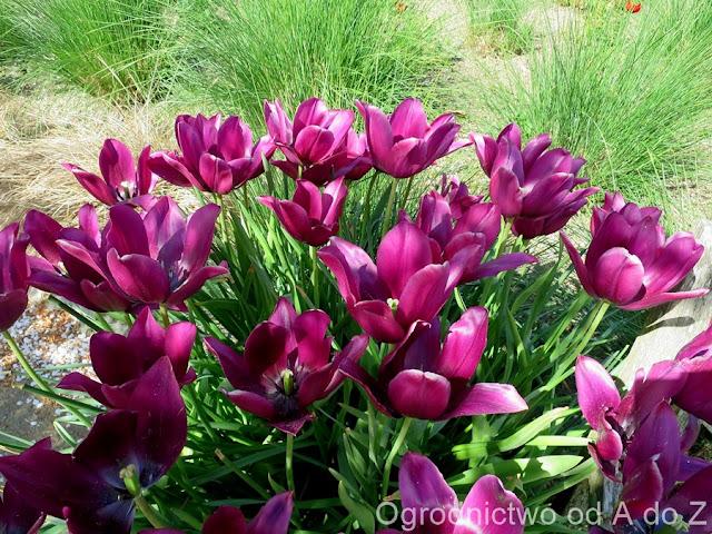 Tulipa 'Merlot'