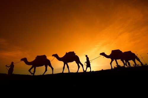 unta gurun pasir