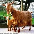 Dê lông vàng vùng Guernsey