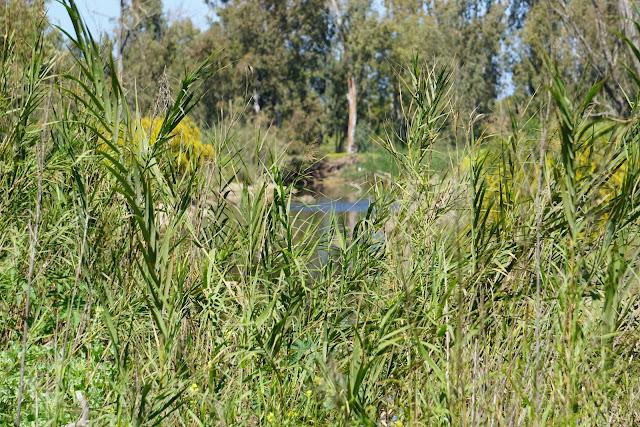 צמחיית קנה -שפך נחל שורק