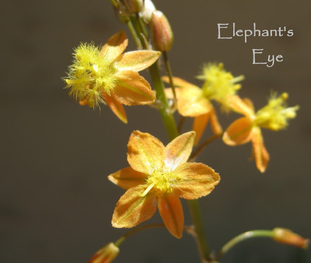Bulbine flowers