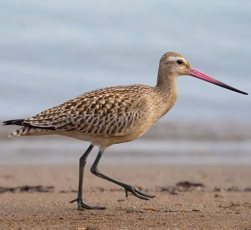 Birds of India - Photo of Bar-tailed godwit - Limosa lapponica
