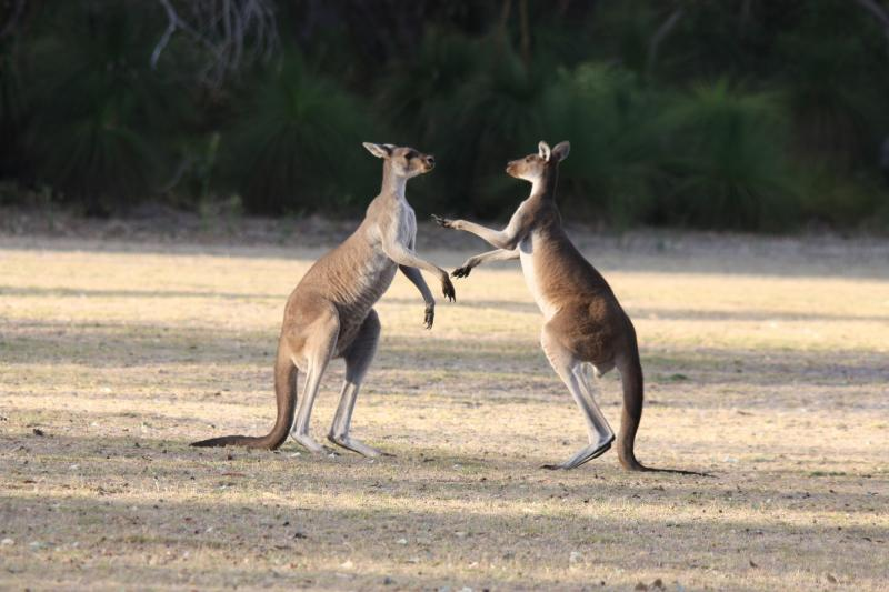 Western Grey Kangaroos in Yanchep National Park
