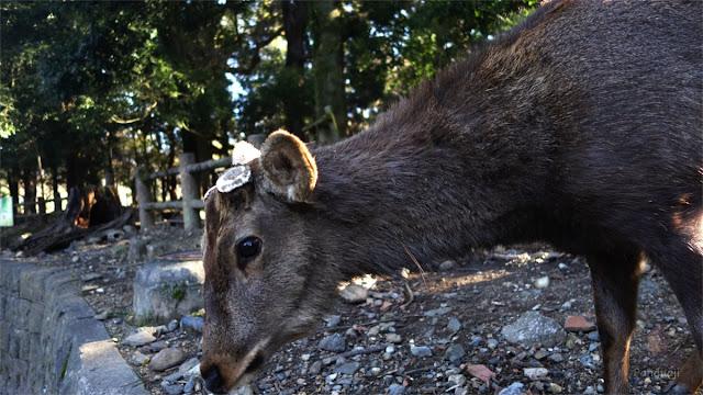 Rusa di pinggiran jalan Nara