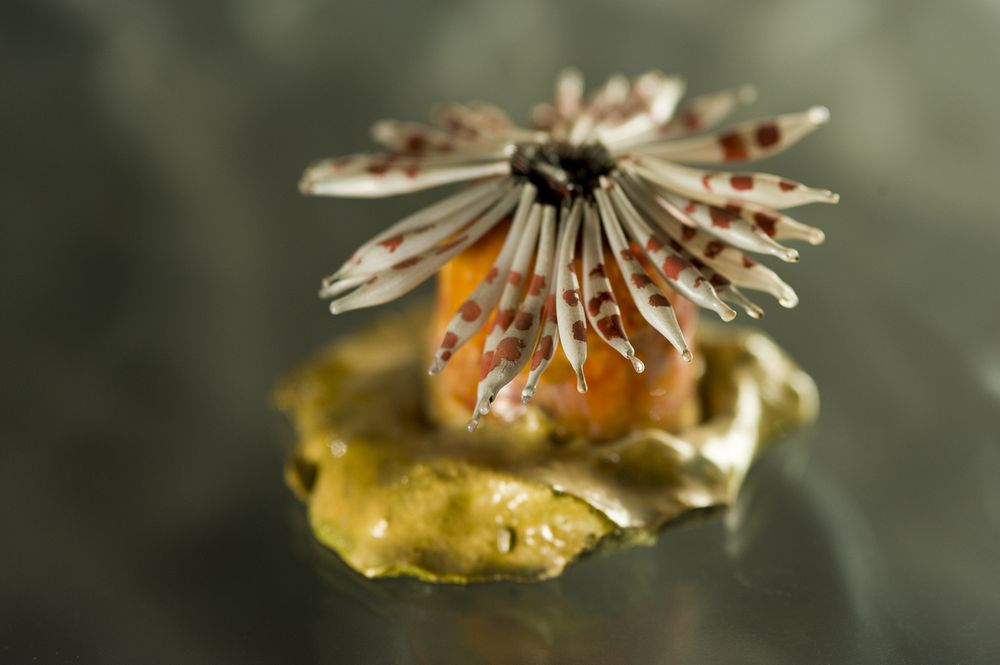 Blaschka's glass models of sea anemones.