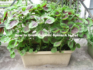 Complete Guide How to Grow Organic Spinach In Pot