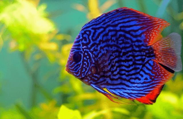 Daftar Harga Ikan Discus Terbaru