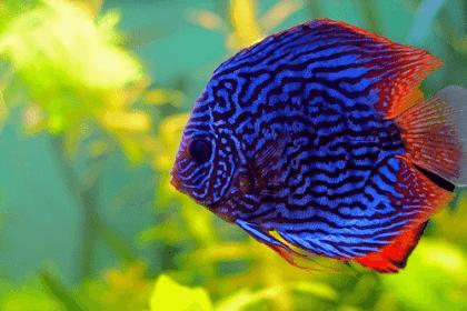 Daftar Harga Ikan Discus Terbaru 2019