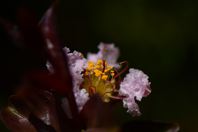 crape myrtle, lagerstroemia, rhapsody in pink, garden bloggers bloom day, small sunny garden, amy myers, photography, desert garden