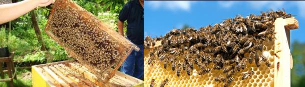 contoh Ternak Lebah Madu