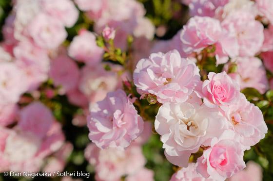花束のような薄ピンクのバラ畑