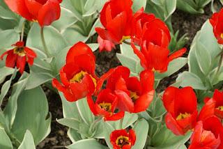 Tulipe forsteriana Dekora - Tulipa Dekora - Tulipe Dekora