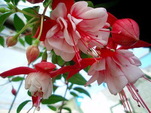 Flor simbolo do Estado do Rio Grande do Sul, o brinco-de-princesa ou fúcsia que é uma planta que faz um enorme sucesso internacional.