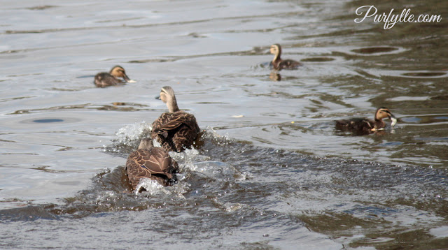 who will win the right to raise the ducklings?