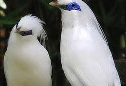 5700 Koleksi Gambar Burung Jalak Bali Dan Ciri Cirinya Terbaik