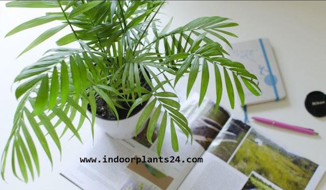 Chamaedorea Elegans Palmae indoor house plant picture
