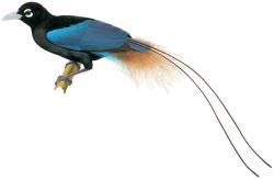Paradisornis rudolphi