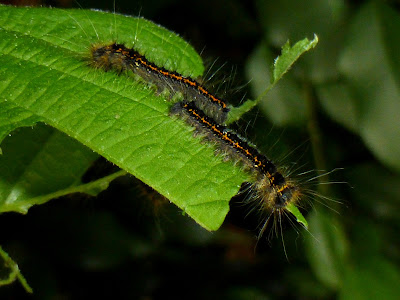 Kunugia undans caterpillar