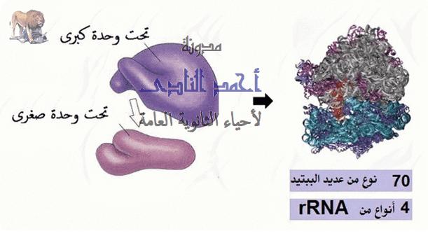 حمض  RNA الريبوسومى  ( r-RNA ) - تركيب الريبوسومات -  rna الريبوسومى – 70 نوع عديد ببتيد -  الثالث الثانوى