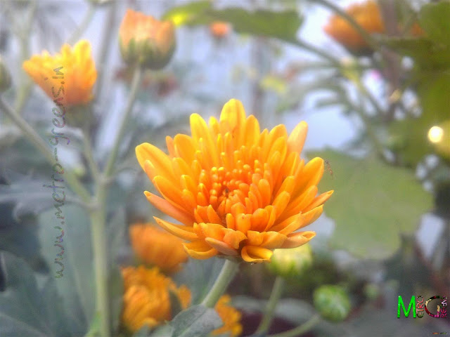 Metro Greens: Orange coloured chrysanthemum buds