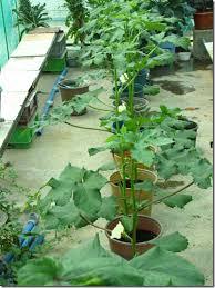 Hướng dẫn cách trồng đậu bắp sạch tại nhà