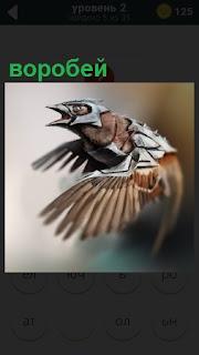 Полет воробья, который машет крыльями и открыл клюв