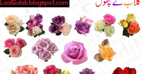 Essay on rose in urdu