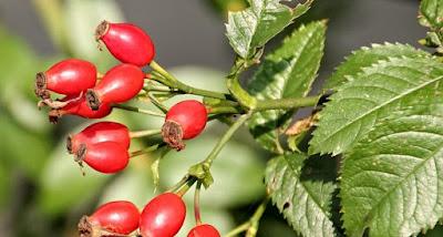 artikel kesehatan, buah, gizi, hawthorn, hawthorn berry, herbal, kesehatan, Manfaat Tanaman Herbal, nutrisi,