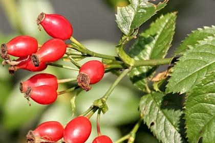 Kandungan dan Manfaat Hawthorn Berry Untuk Kesehatan
