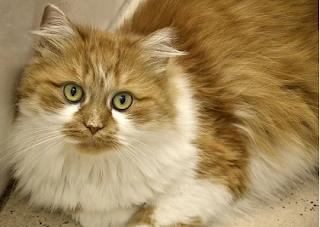 Manfaat Minyak Zaitun Untuk Kucing