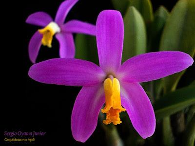 Orquídea Laelia lucasiana