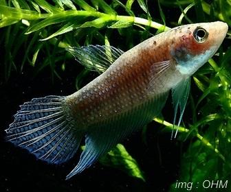 Jenis Ikan Cupang Spesies Betta Apollon