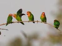 Beberapa Contoh Lovebird akan Kawin