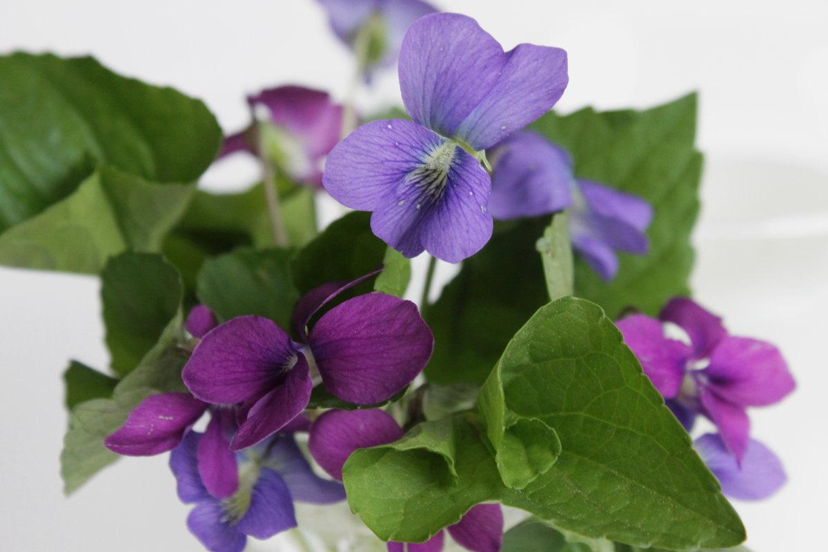 Honeysuckle Cottage and Wisteria Studio: Wild Violets ...