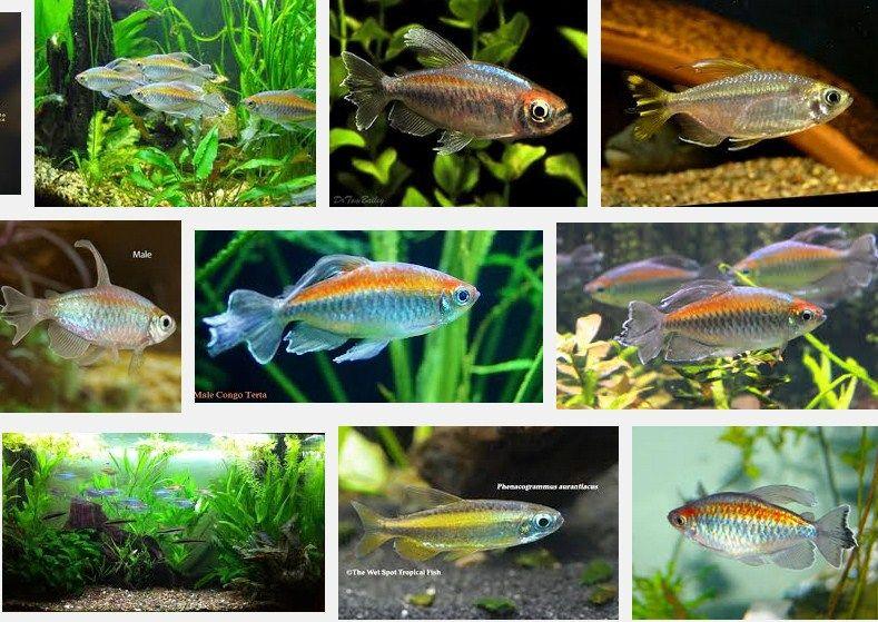 Ikan Congo Tetra (Phenacogrammus Interruptus)