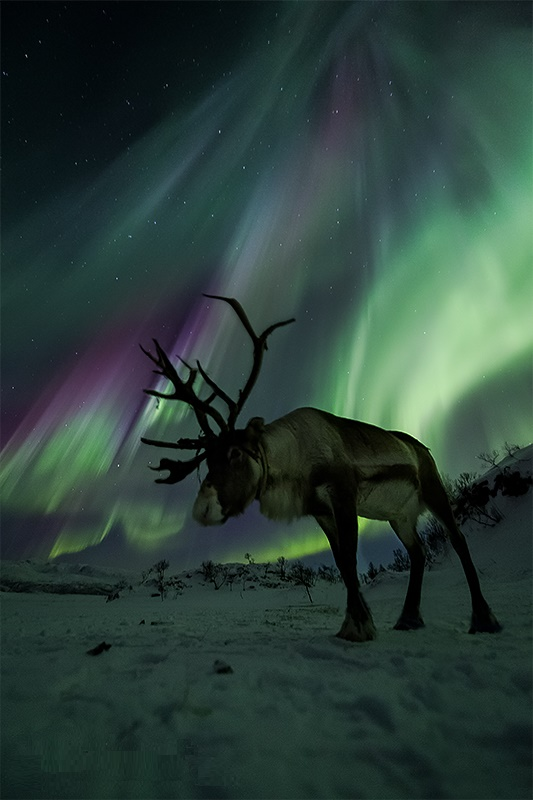 Aurora and Reindeer