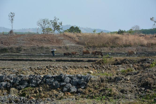 Gia Lai: Đại hạn 'giết' bò Tây Nguyên