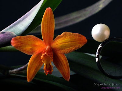 Mini-orquídea Sophrolaelia Marriotiana